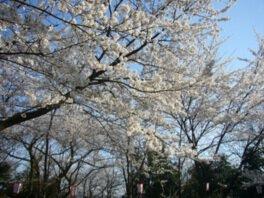 足羽山公園の桜