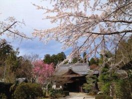 金剛輪寺の桜