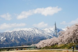 勝山弁天桜(九頭竜河畔の桜)
