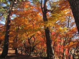 修善寺自然公園 もみじ林の紅葉