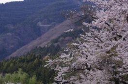 伊吹山ドライブウェイの桜
