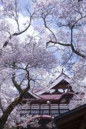 高遠城址公園の桜
