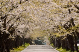松前藩戸切地(へきりち)陣屋跡桜並木