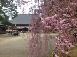 【拝観休止】毛越寺の桜