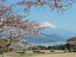 日本平の桜