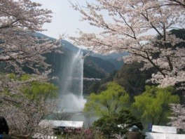君ヶ野ダム公園の桜