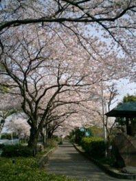 【桜・見ごろ】水元公園
