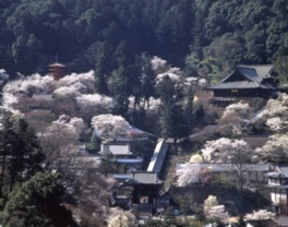 長谷寺の桜(奈良県)