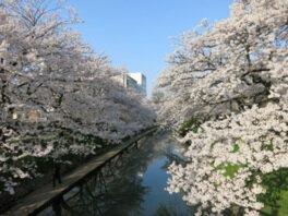 松川公園の桜