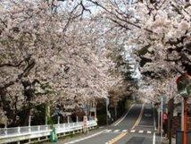 【桜・見頃】鎌倉山桜並木