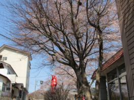 老神温泉の桜