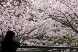 横浜市立金沢動物園の桜