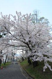 【桜・見頃】長野市城山公園