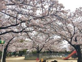 RSKバラ園の桜