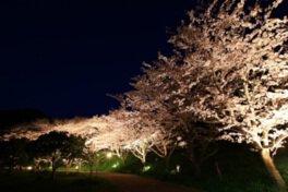 佐久間ダム公園の桜