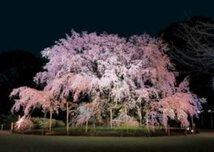 【桜・見頃】六義園