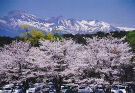 黒磯公園の桜