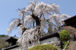 福王寺の桜