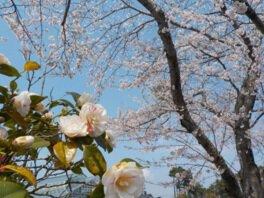【一部休止】碁石海岸の桜