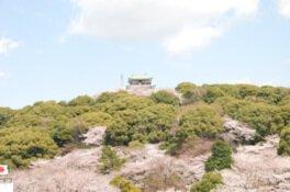 史跡小牧山の桜