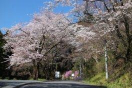 慈光山歴史公苑の桜