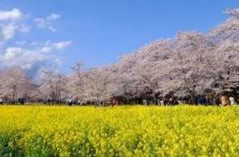 赤城南面千本桜