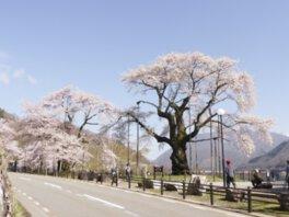 【臨時休園】荘川桜