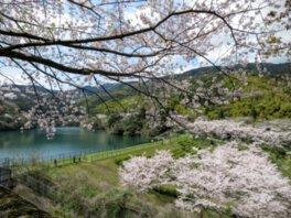 昭和池公園の桜