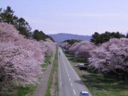 二十間道路桜並木の桜