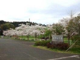 小中池公園の桜