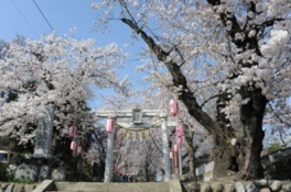 城山稲荷神社の桜