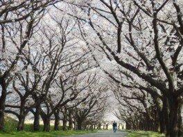 川越公園の桜
