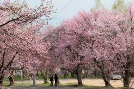 【駐車場閉鎖】旭山公園の桜