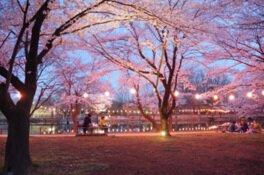 【駐車場封鎖・施設使用中止】鶴ヶ島市運動公園の桜