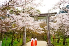 宝満宮竈門神社の桜