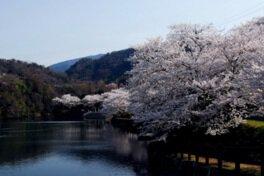 たからだの里さいた(戸川ダム)の桜