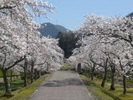 万葉の里 味真野苑の桜