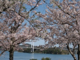 【2020年花見不可・イベント開催なし】能島の桜