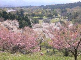 秋吉台家族旅行村の桜
