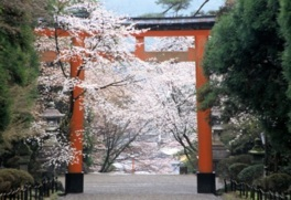 霧島神宮の桜