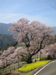 ひょうたん桜公園の桜
