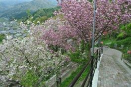 祇園公園の桜