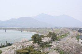 大河津分水の桜