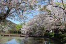 【桜・見頃】鶴岡八幡宮