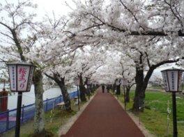 瓢湖水きん公園の桜