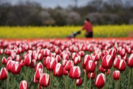 胎内市内で栽培されている約60品種が一堂に揃う