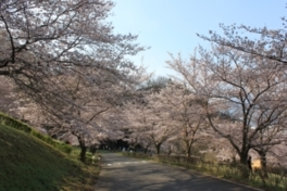 戸倉宿キティパークの桜