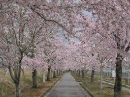 まほろばの緑道の桜