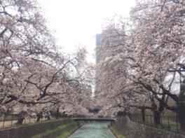 前橋公園の桜