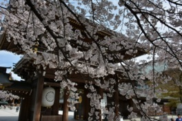 寒川神社の表参道と境内の桜